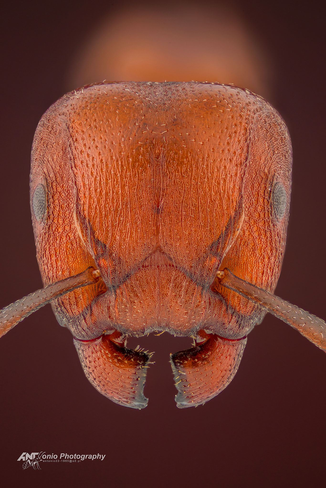 Ant Atopomyrmex mocquerysi from Mozambique