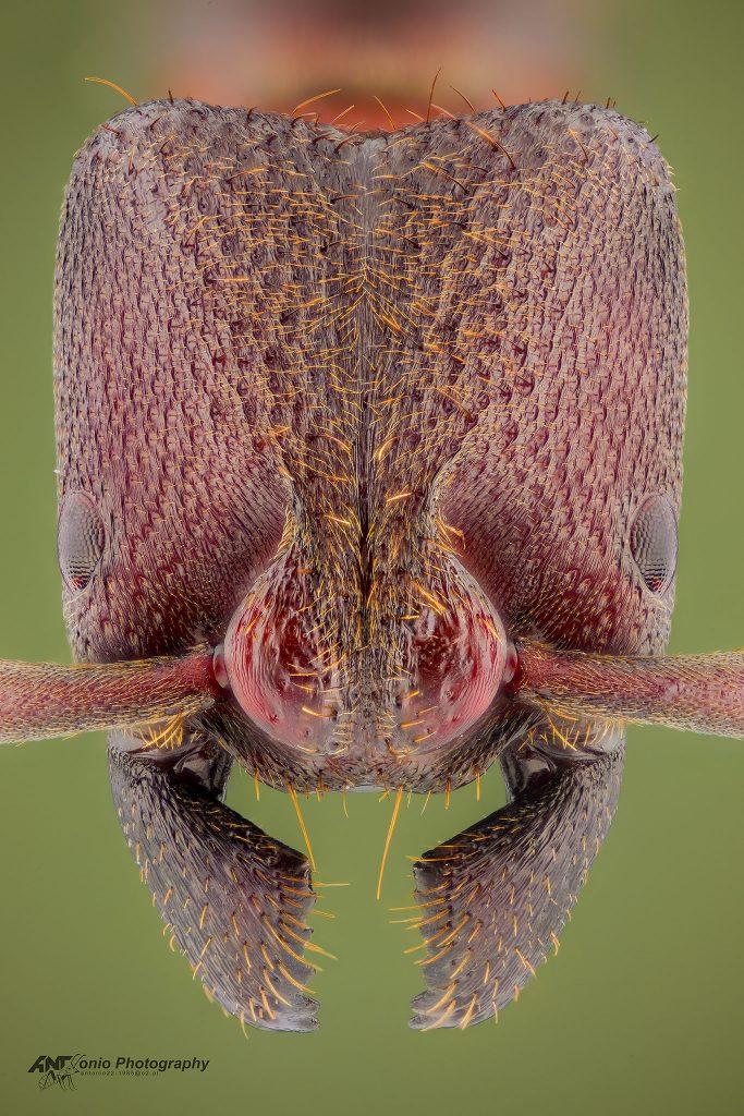 Bothroponera pachyderma