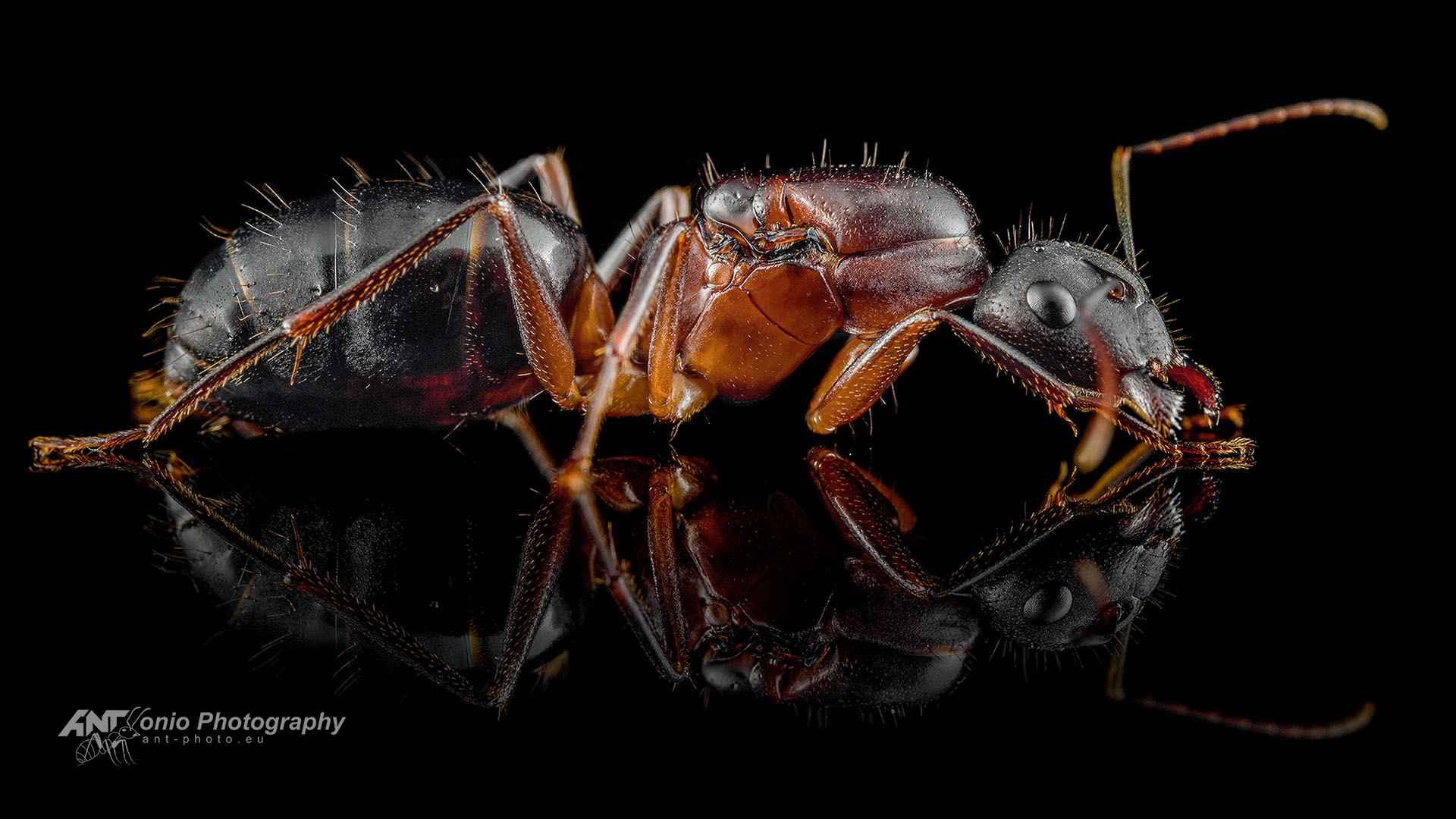 queen Camponotus barbaricus królowa mrówek