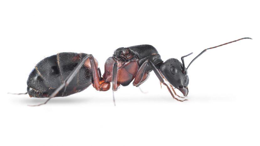 Camponotus cruentatus3
