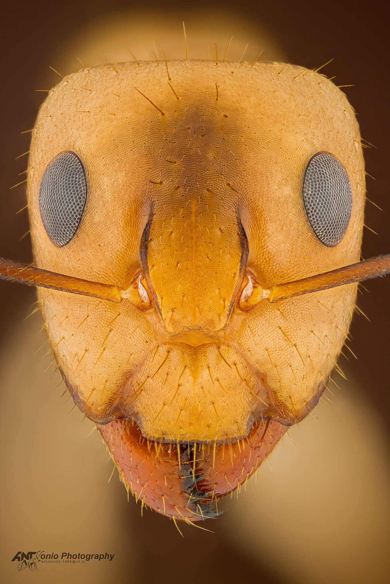 Ant Camponotus fragilis from California