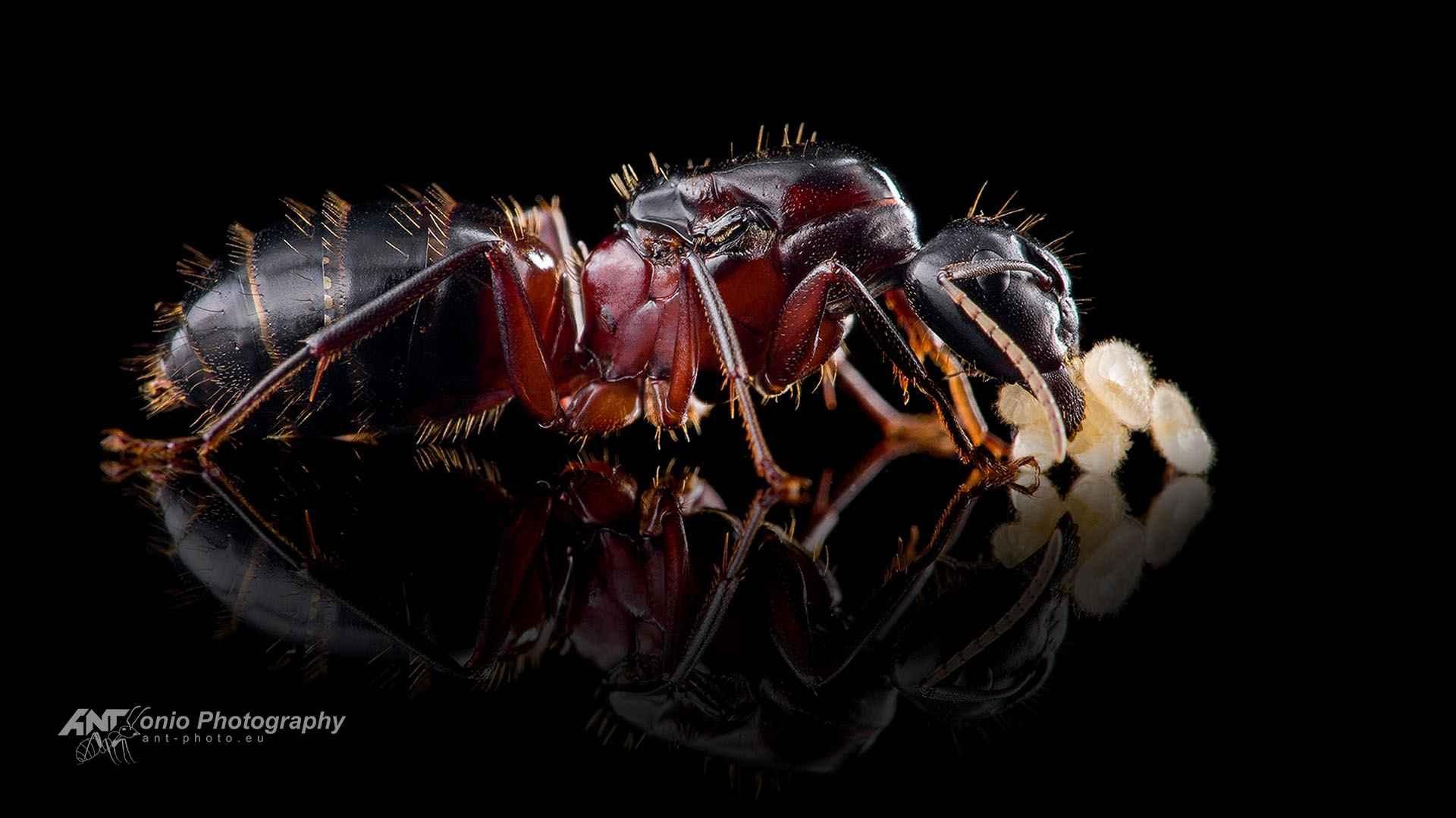 Camponotus ligniperda queen