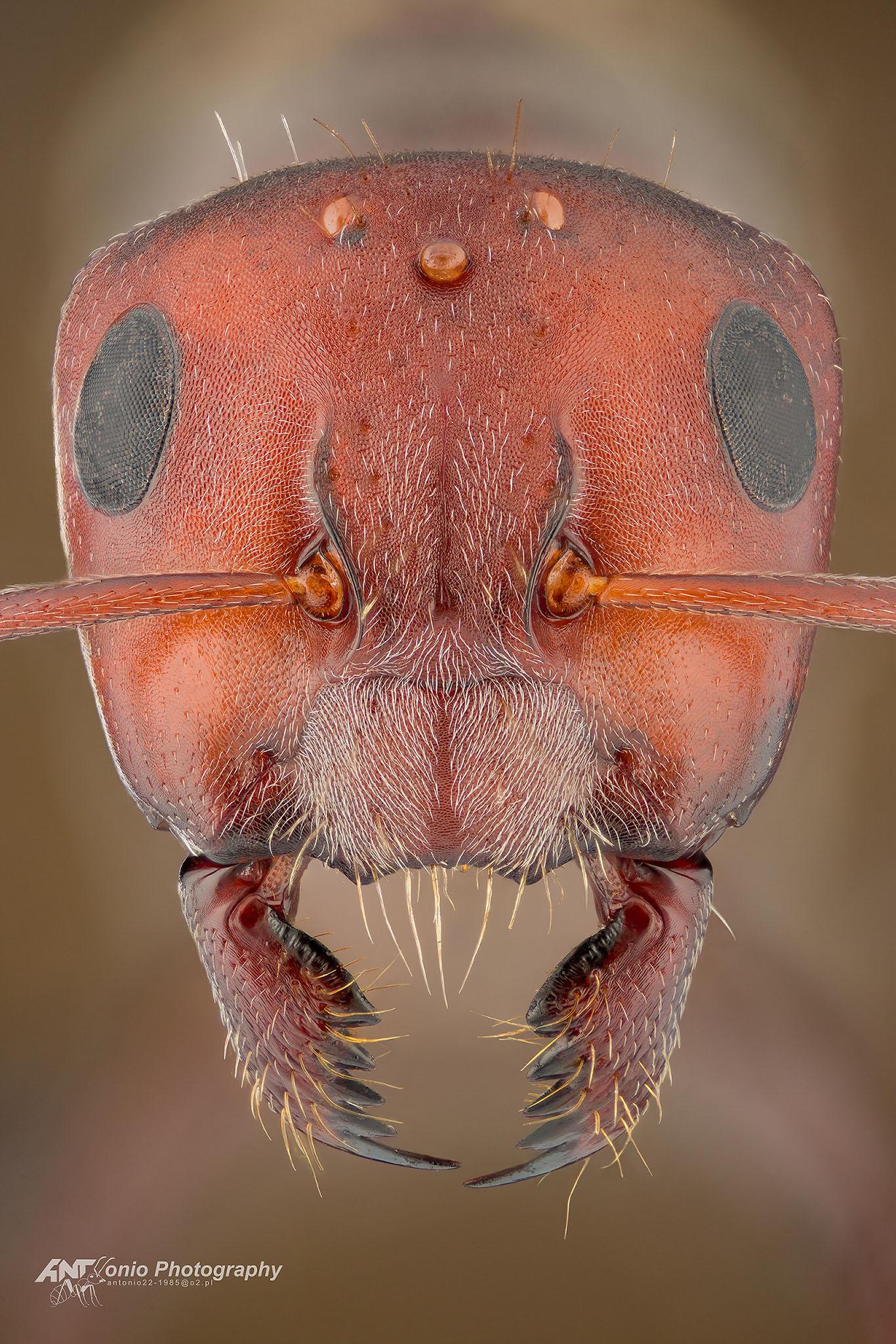 Ant queen Camponotus sericeus