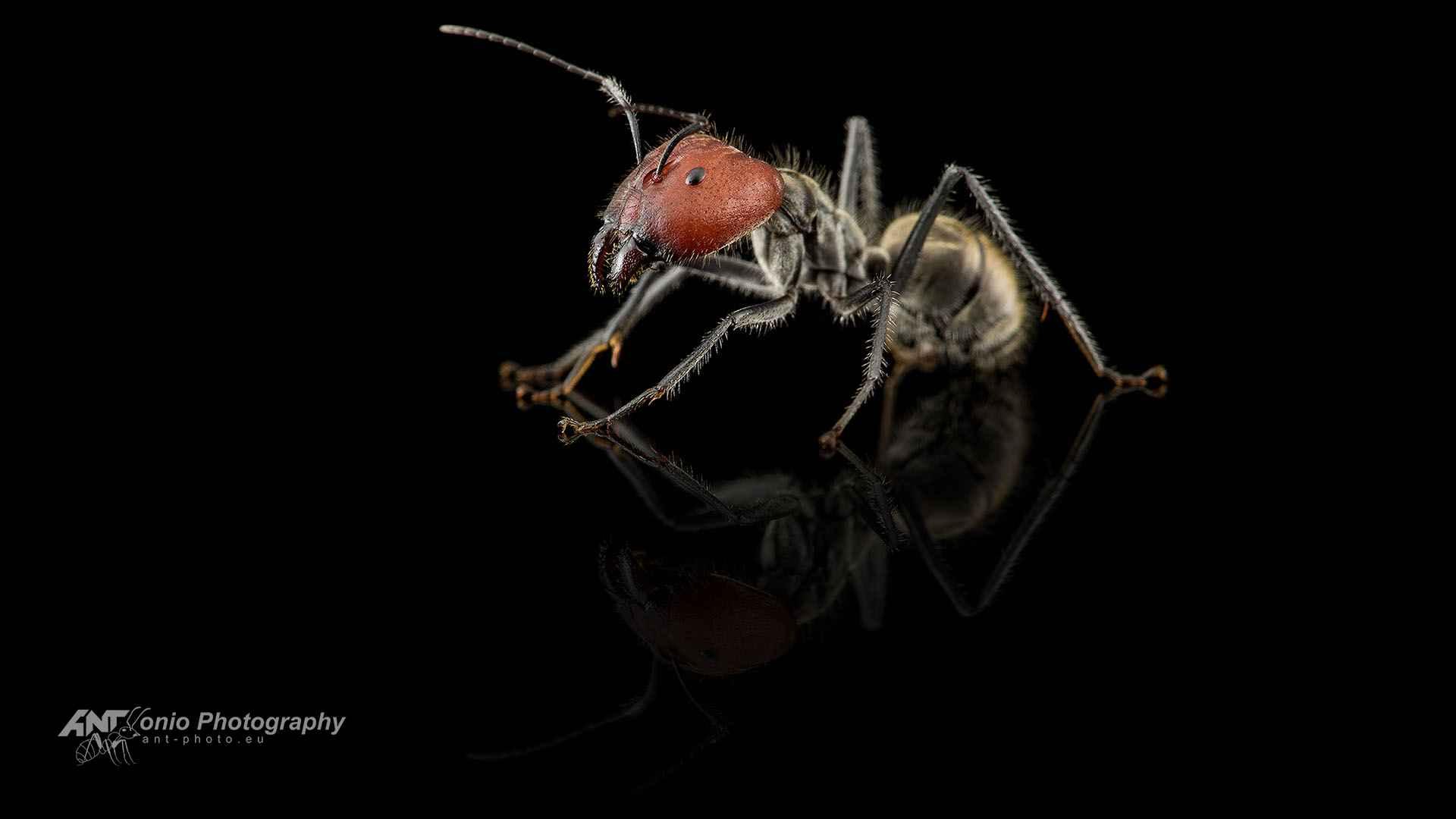 Camponotus singularis major