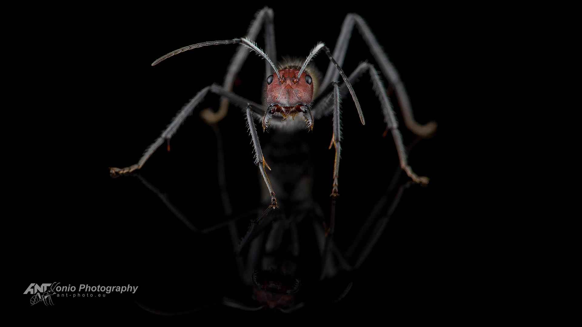 Camponotus singularis2 1