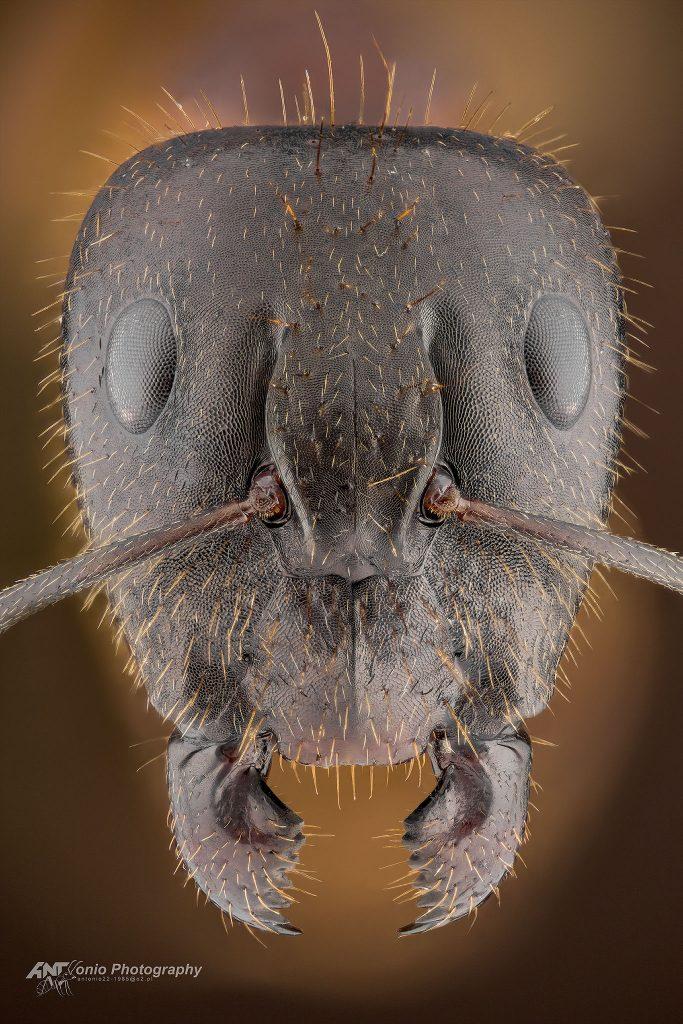 Camponotus sp. Wietnam
