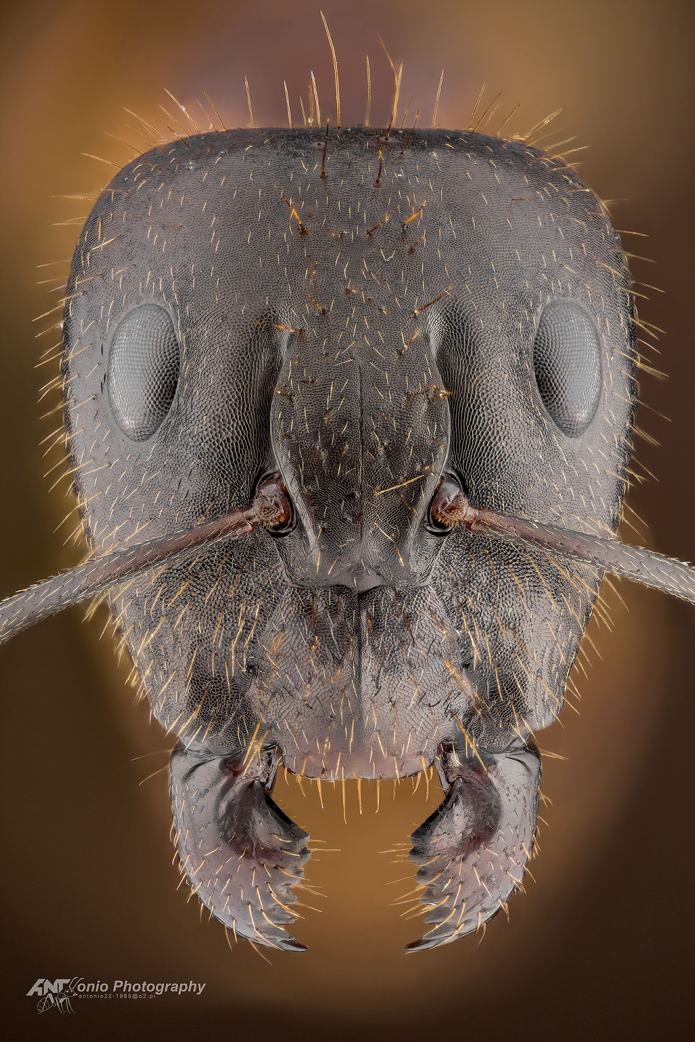 Ant Camponotus sp. from Vietnam