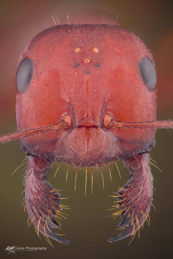 Cataglypsis nodus