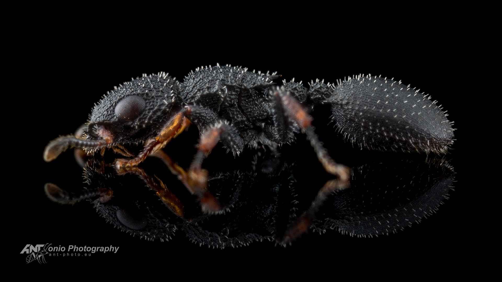 Cataulacus granulatus