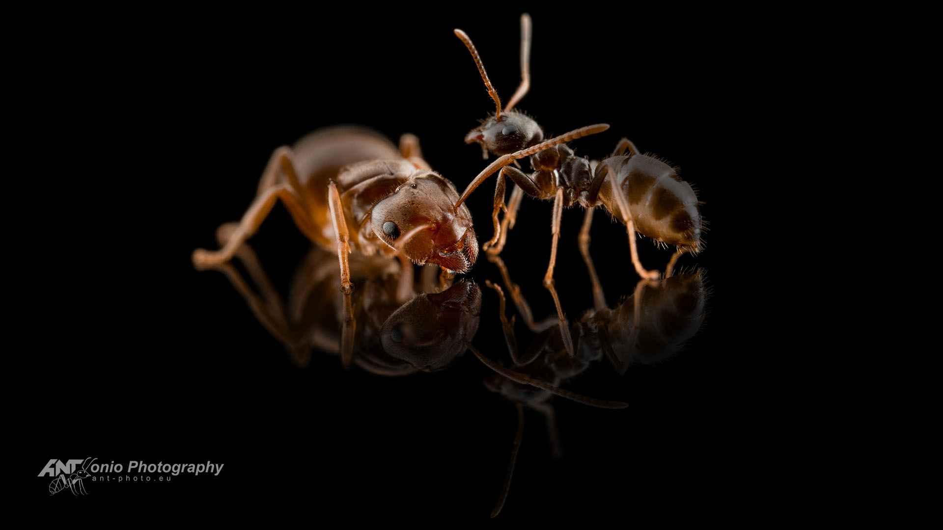 Chthonolasius ants