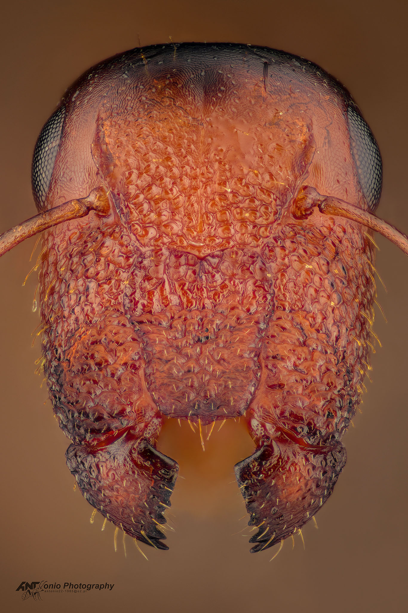 Ant Colobopsis truncata from Poland