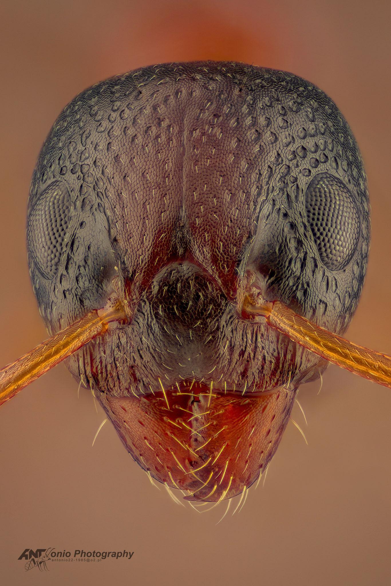 Ant Dolichoderus quadripunctatus from Poland