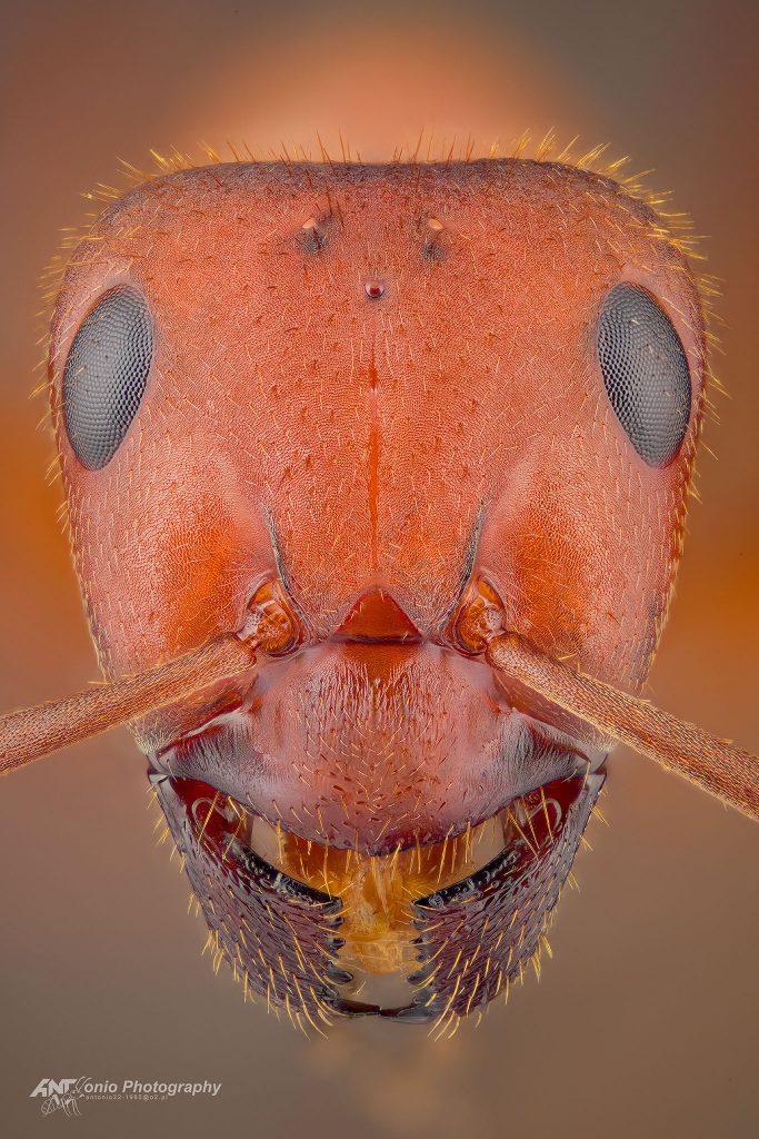 Formica truncorum