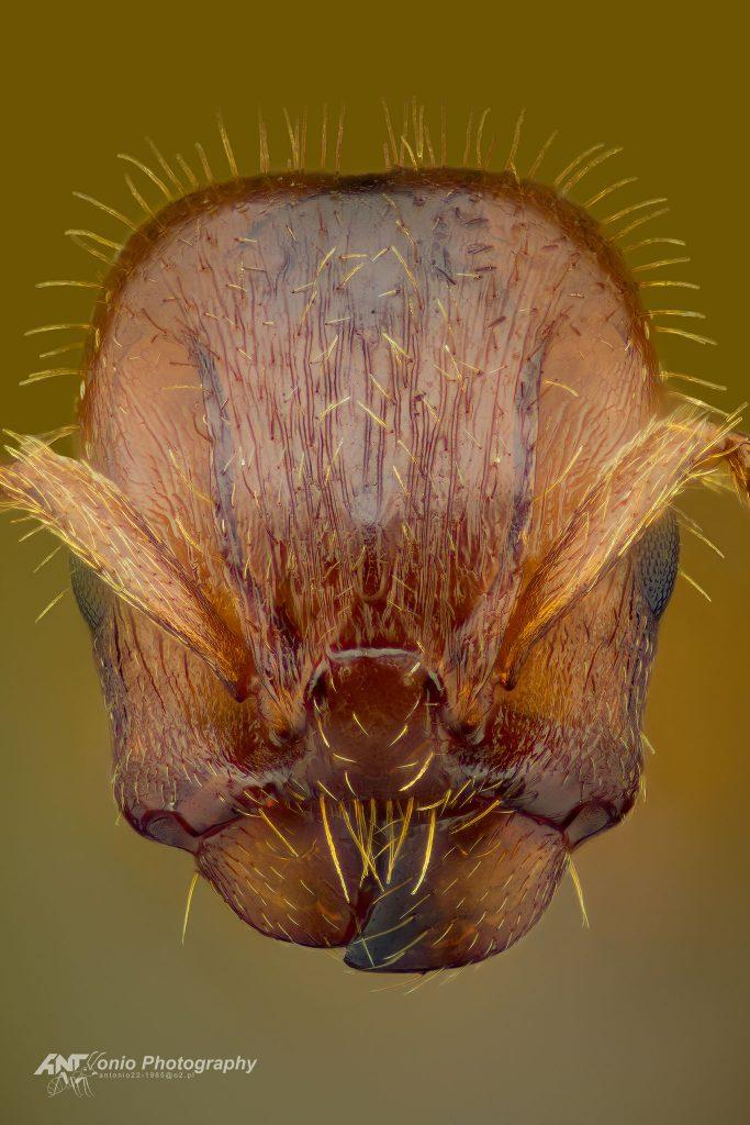 Harpagoxenus sublaevis