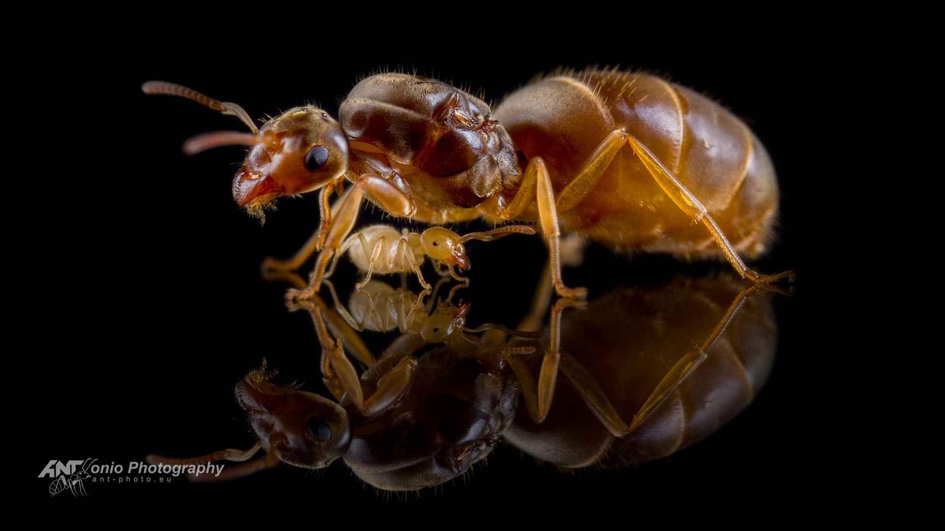 Ant Lasius flavus queen of workers