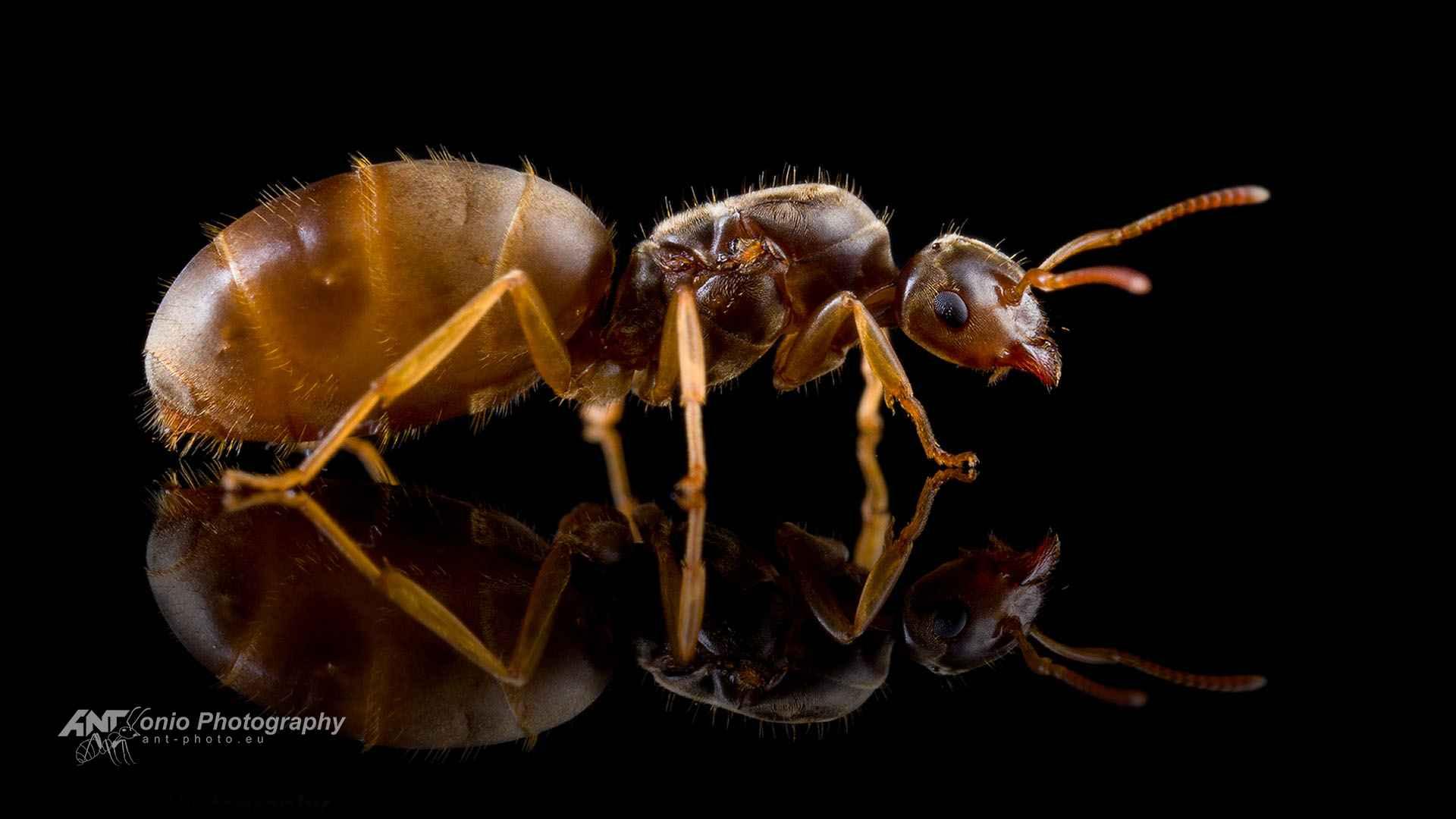 Ant Lasius flavus queen