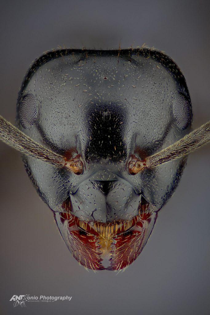 Lasius fuliginosus