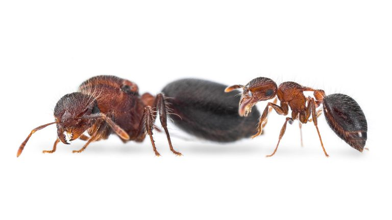 Meranoplus bicolor