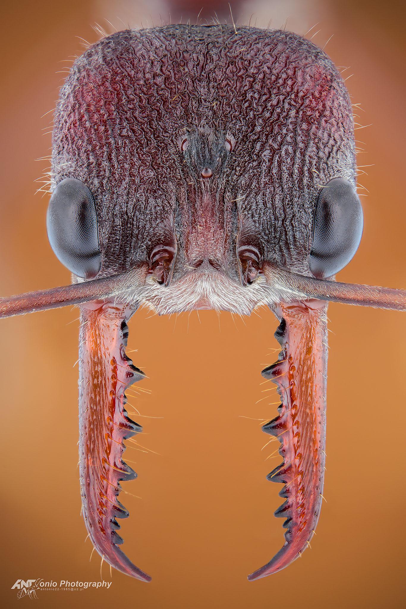 Ant Myrmecia simmilina from Australia