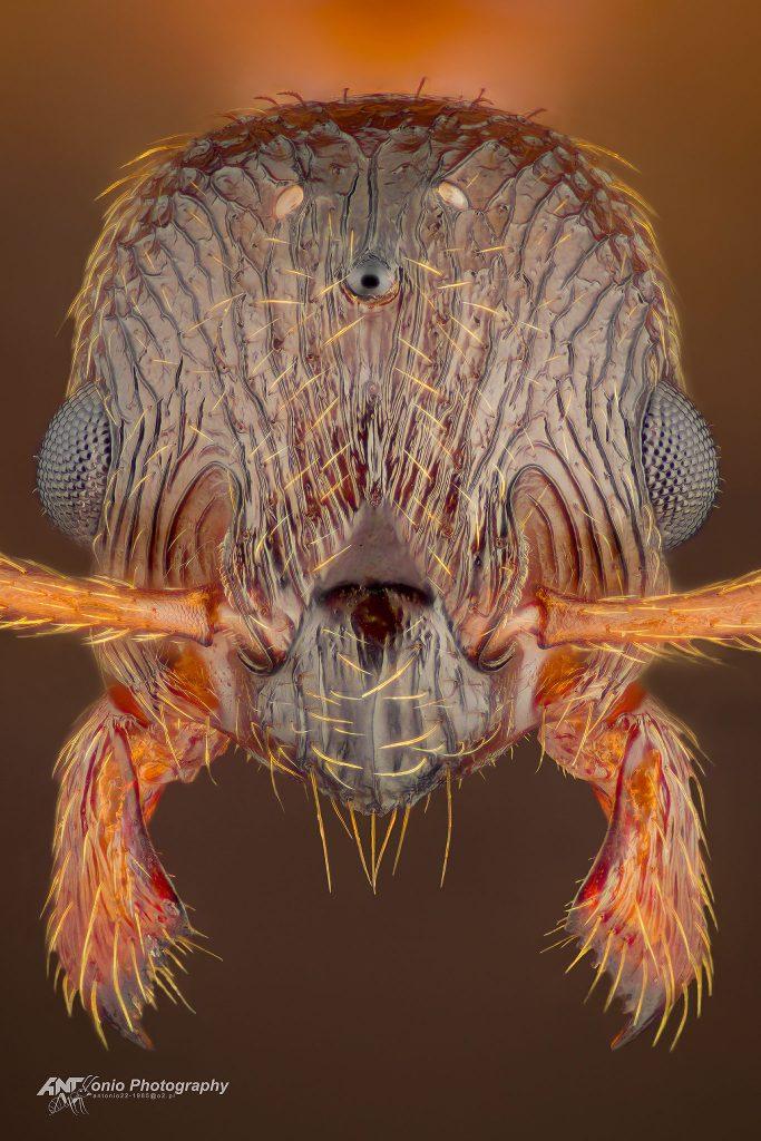 Myrmica ruginodis