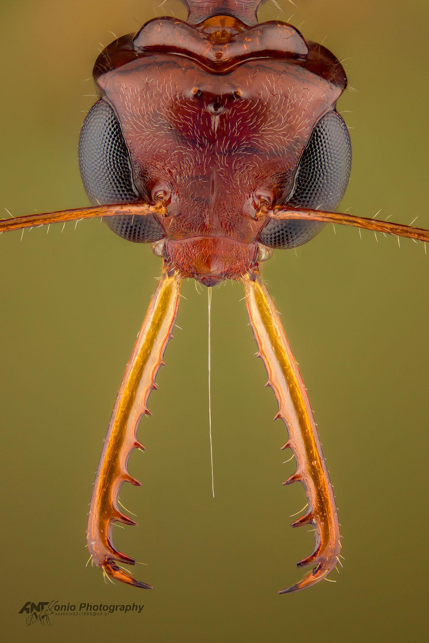 Ant Myrmoteras iriodum from Borneo