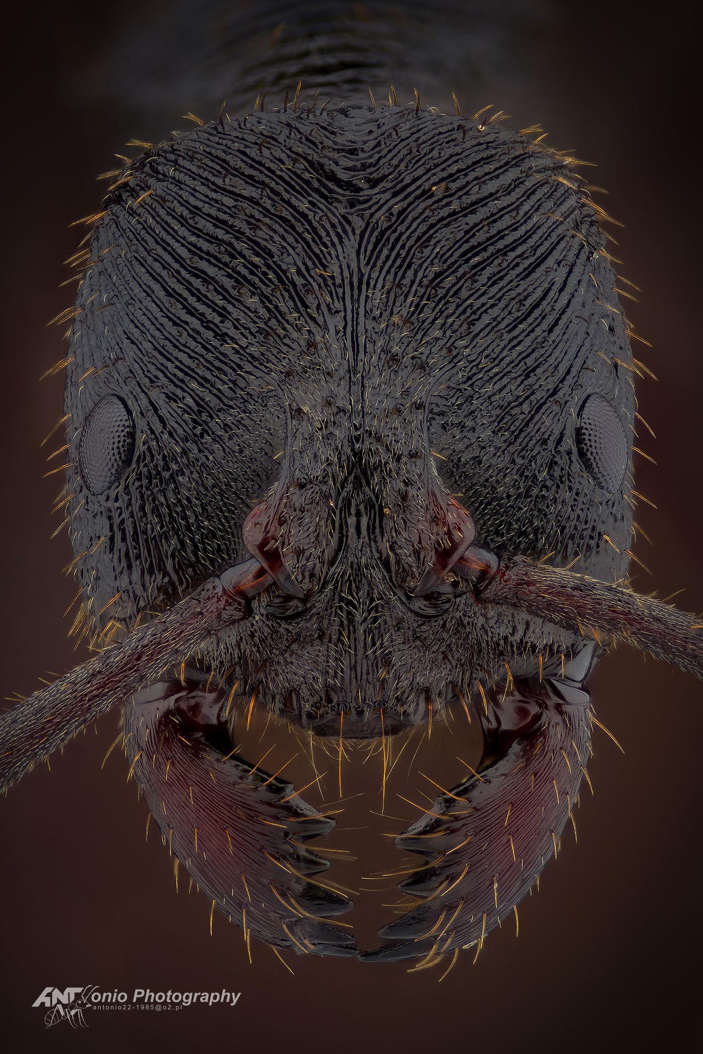 Ant Odontoponera transversa from Asia