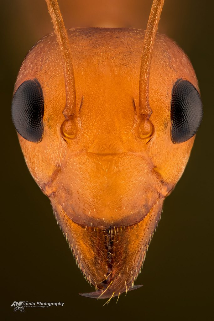 Oecophyla longinoda