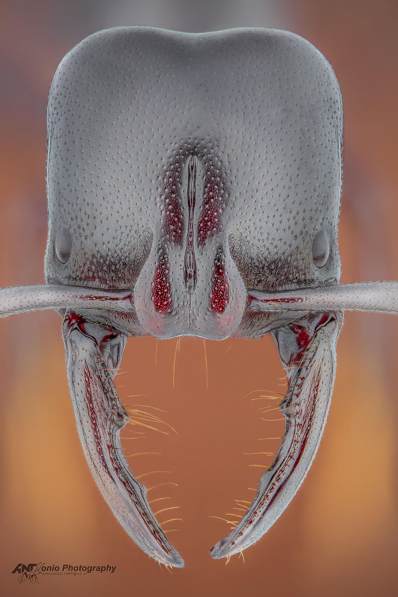 Ant Plectroctena cristata from Uganda