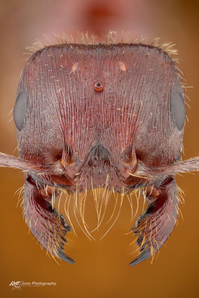 Pogonomyrmex rugosus