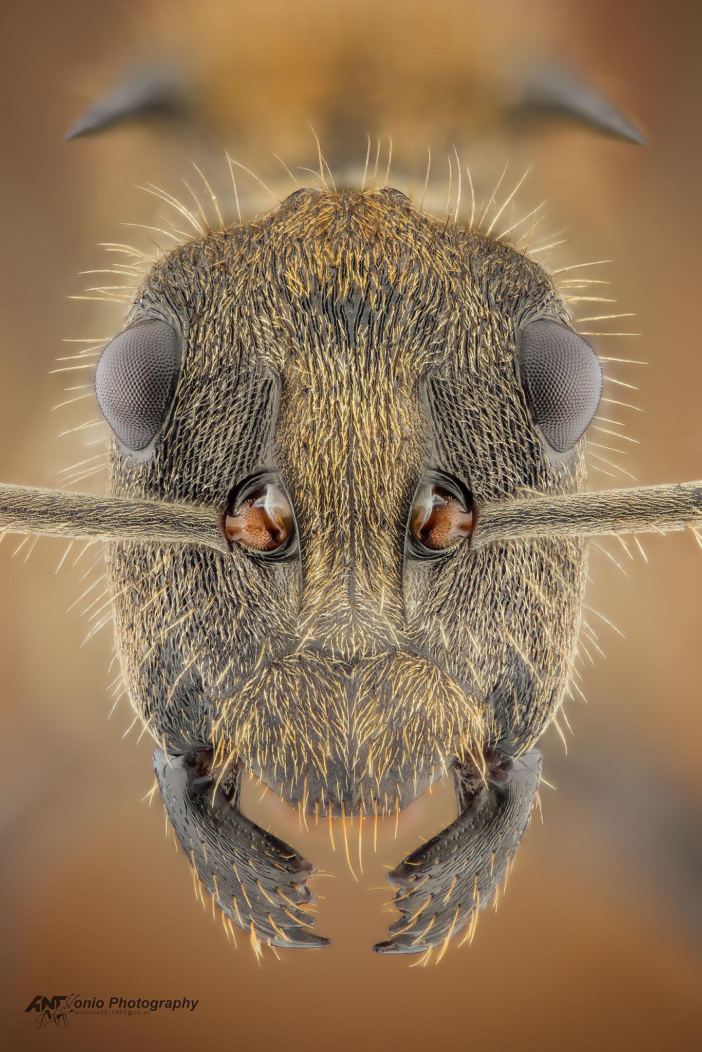 Ant Polyrhachis militaris from Uganda