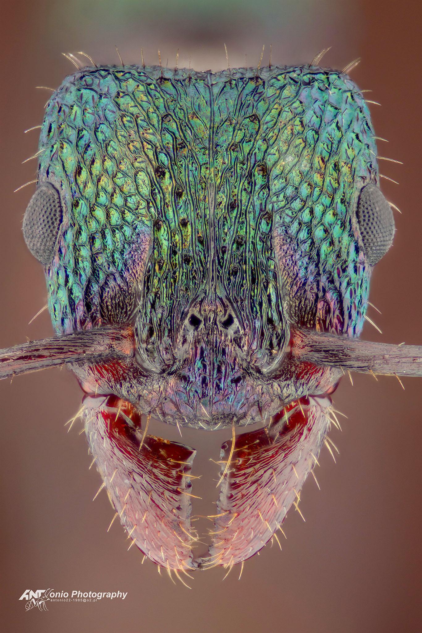 Ant Rhitidoponera metallica from Australia