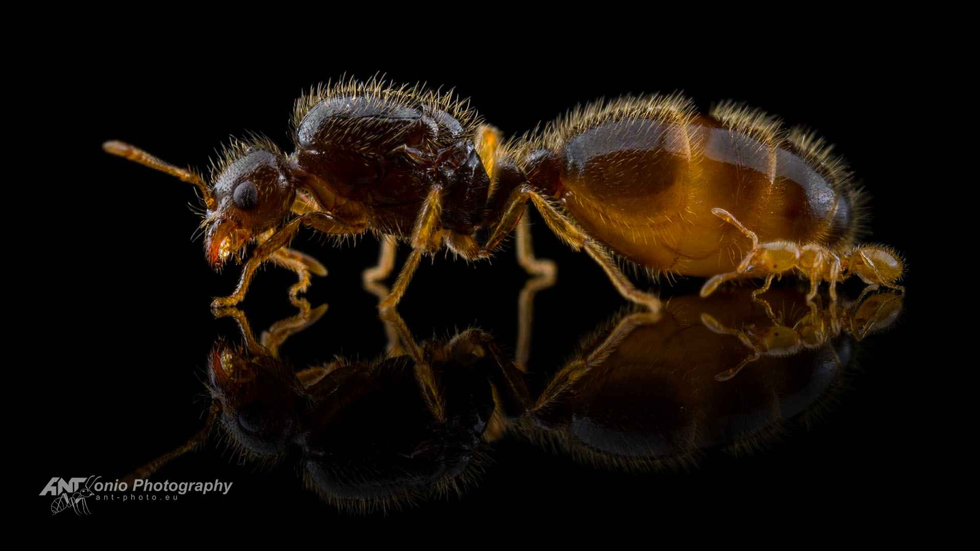 Ant Solenopsis fugax queen of workers