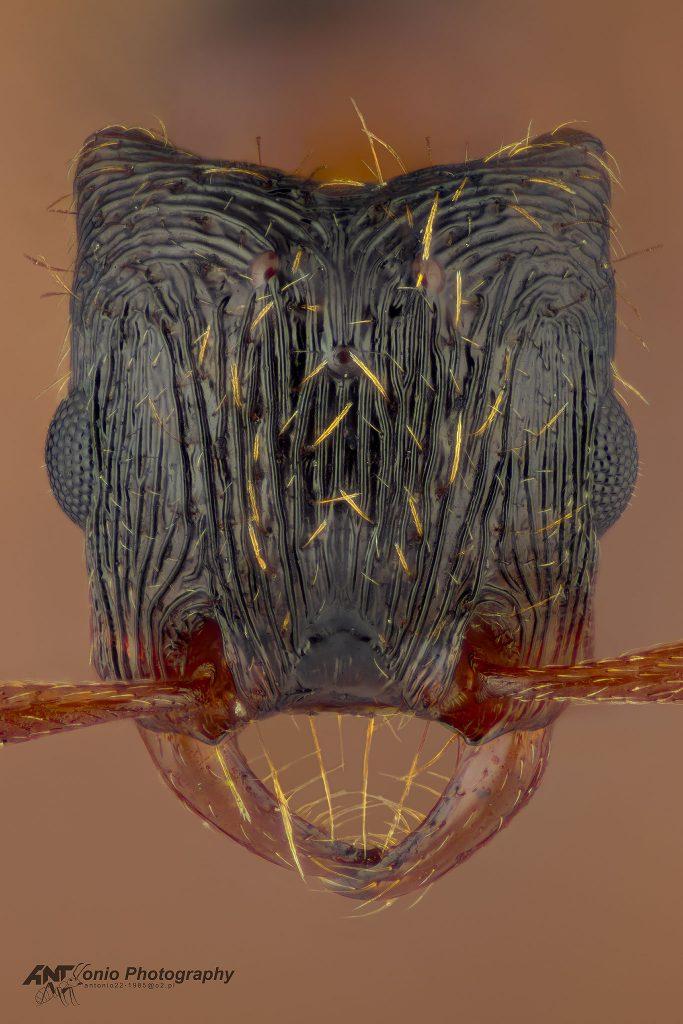 Strongylognathus testaceus