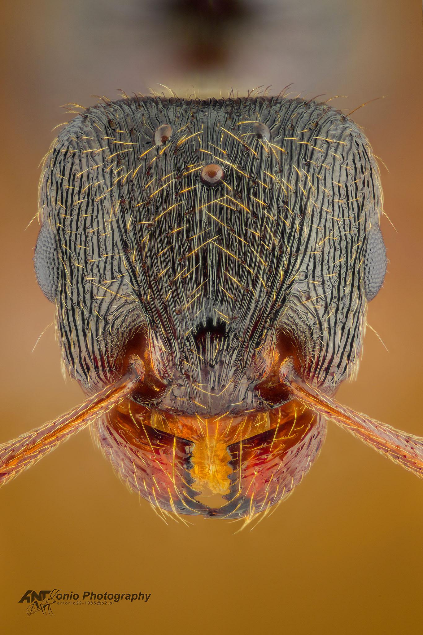 Ant Tetramorium sf. caespitum from Poland