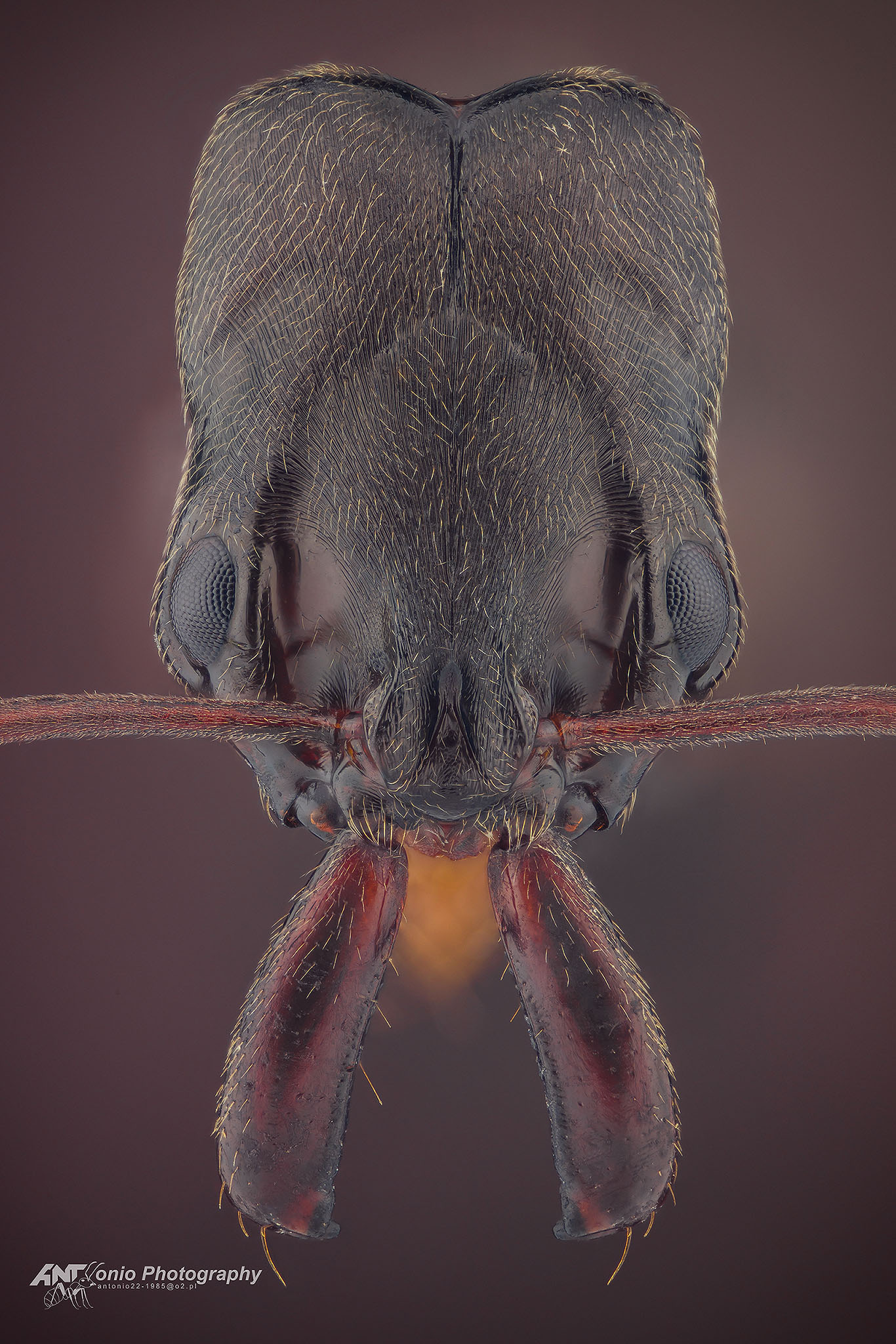 Ant Odontomachus troglodytes from Kenya