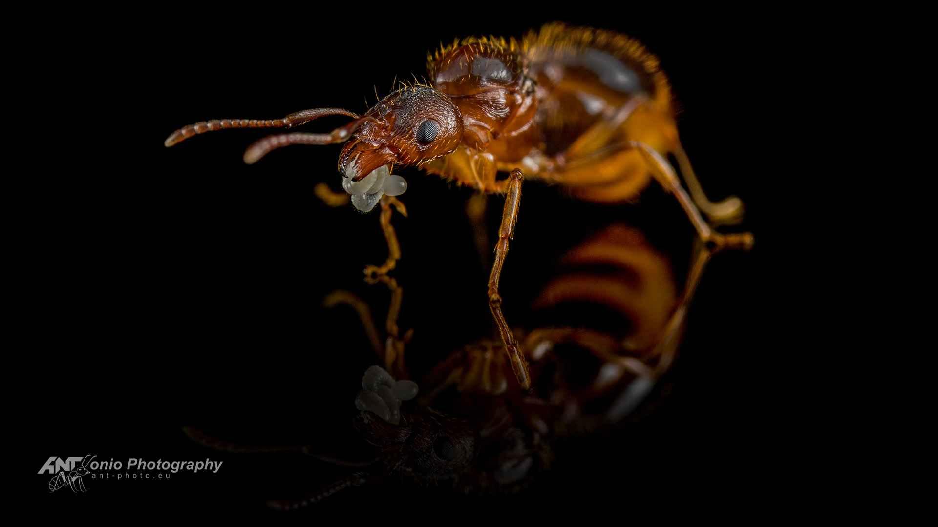Ant Aphaenogaster subterranea queen