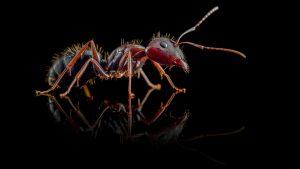 Camponotus aethiops