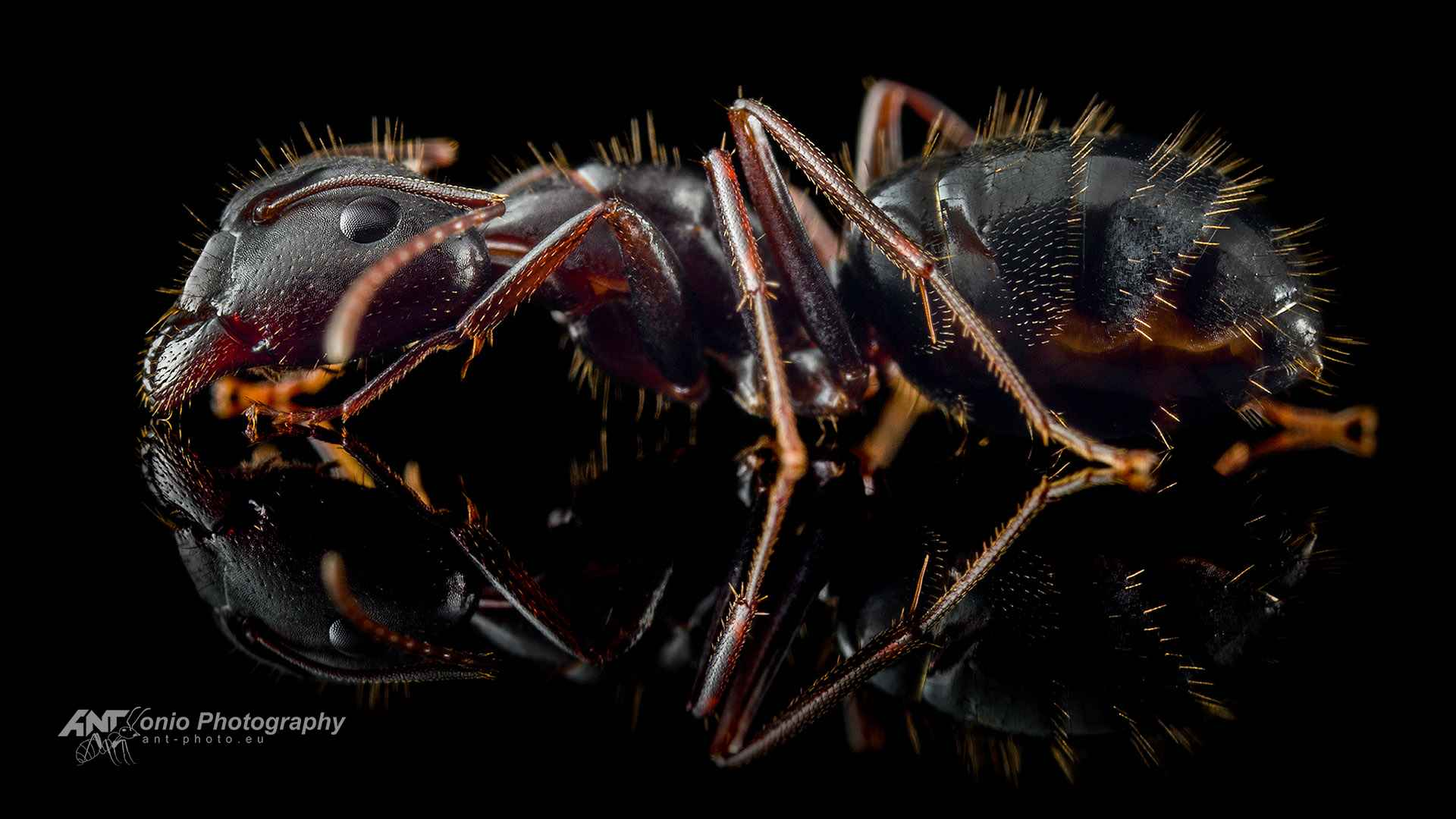 Ant Camponotus aethiops major