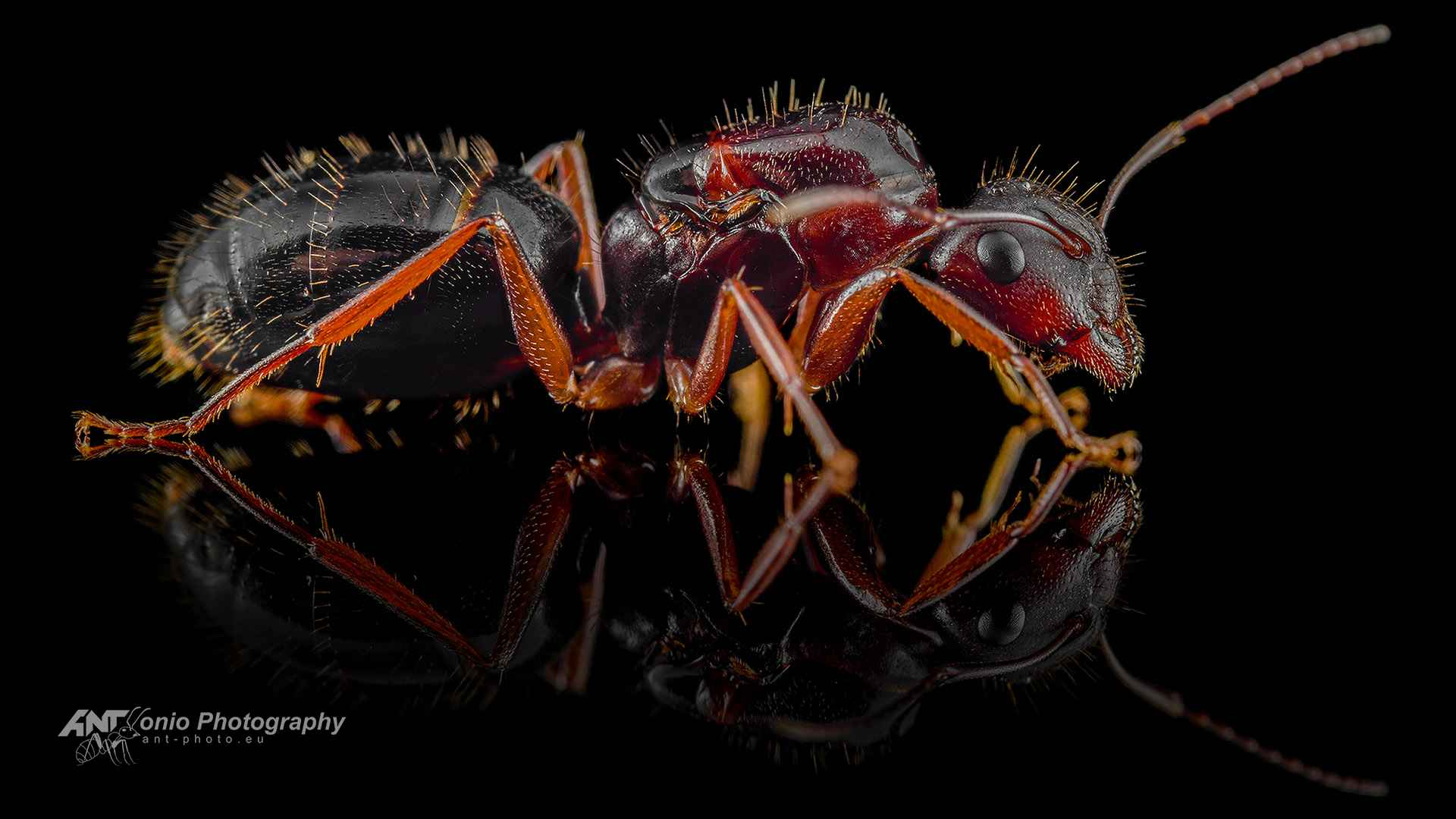 Ant Camponotus aethiops queen