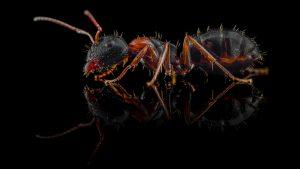 Camponotus dalmaticus