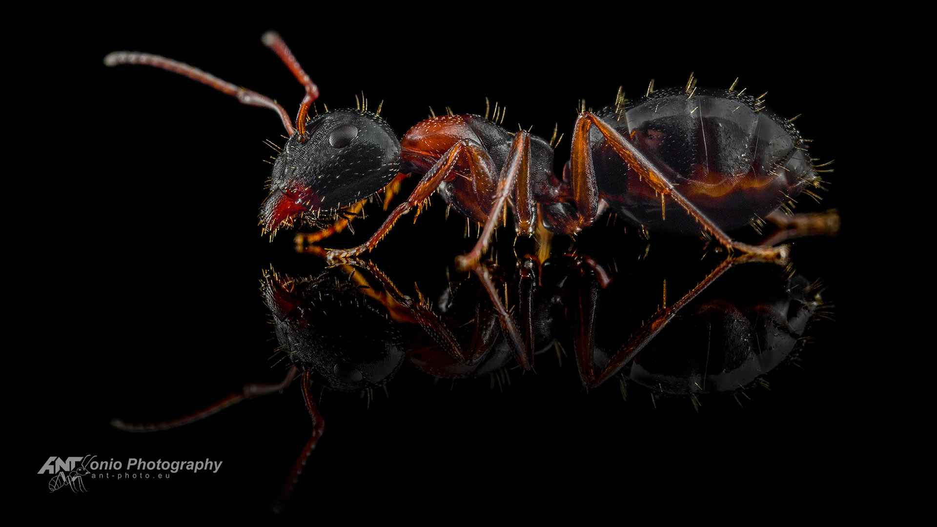 Ant Camponotus dalmaticus major