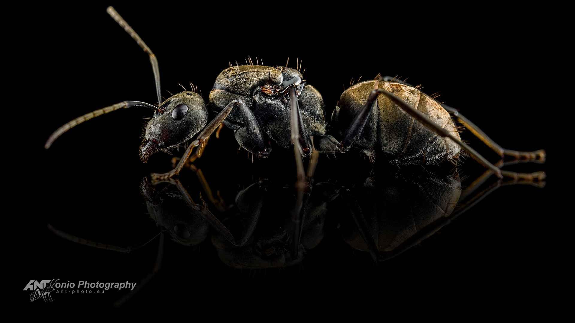 Ant Camponotus dolendus queen