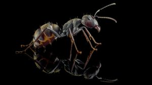 Camponotus dolendus