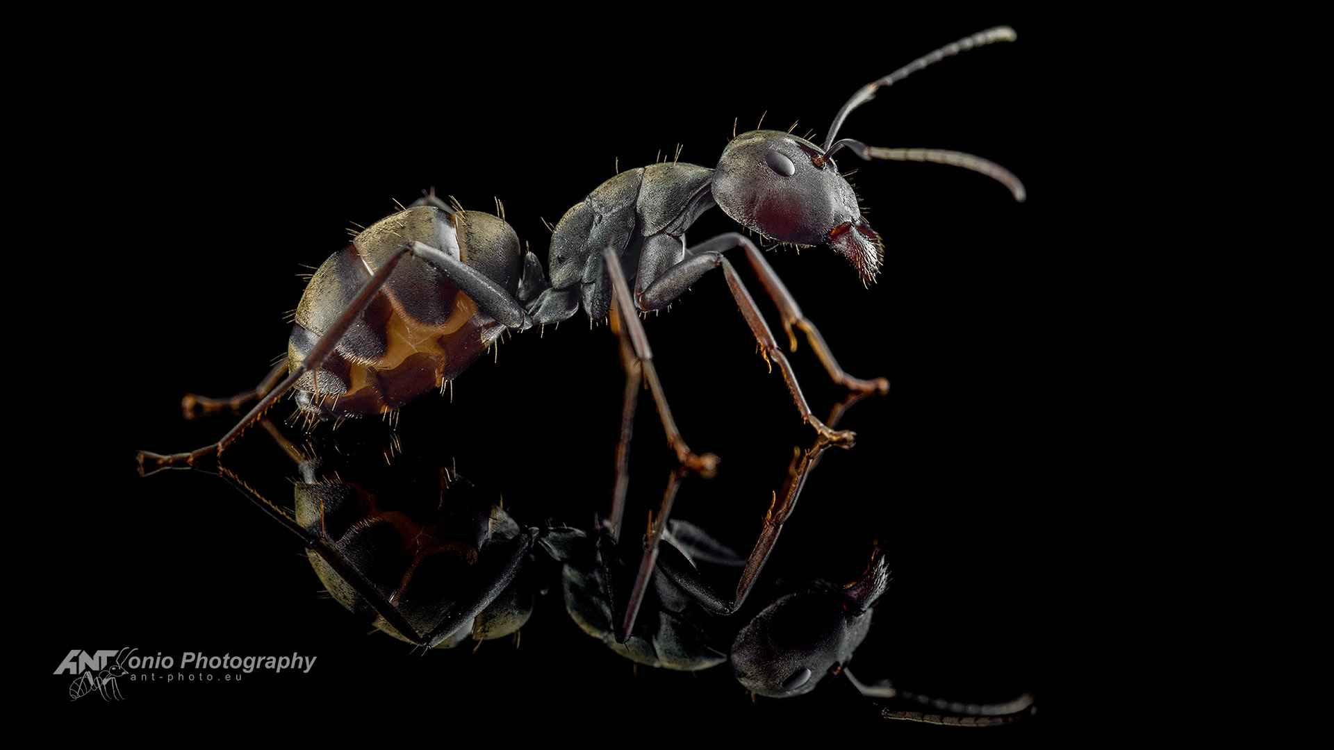 Ant Camponotus dolendus major