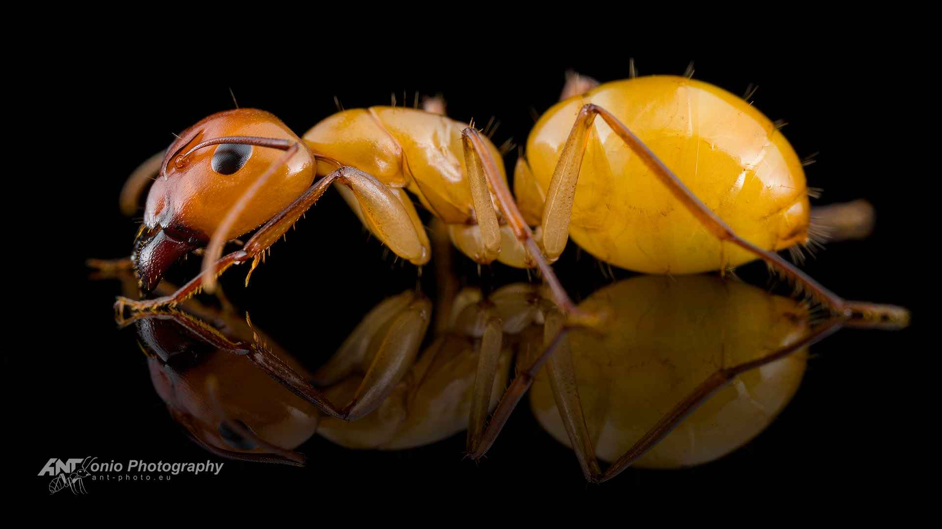 Ant Camponotus turkestanus major