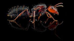 Camponotus lateralis