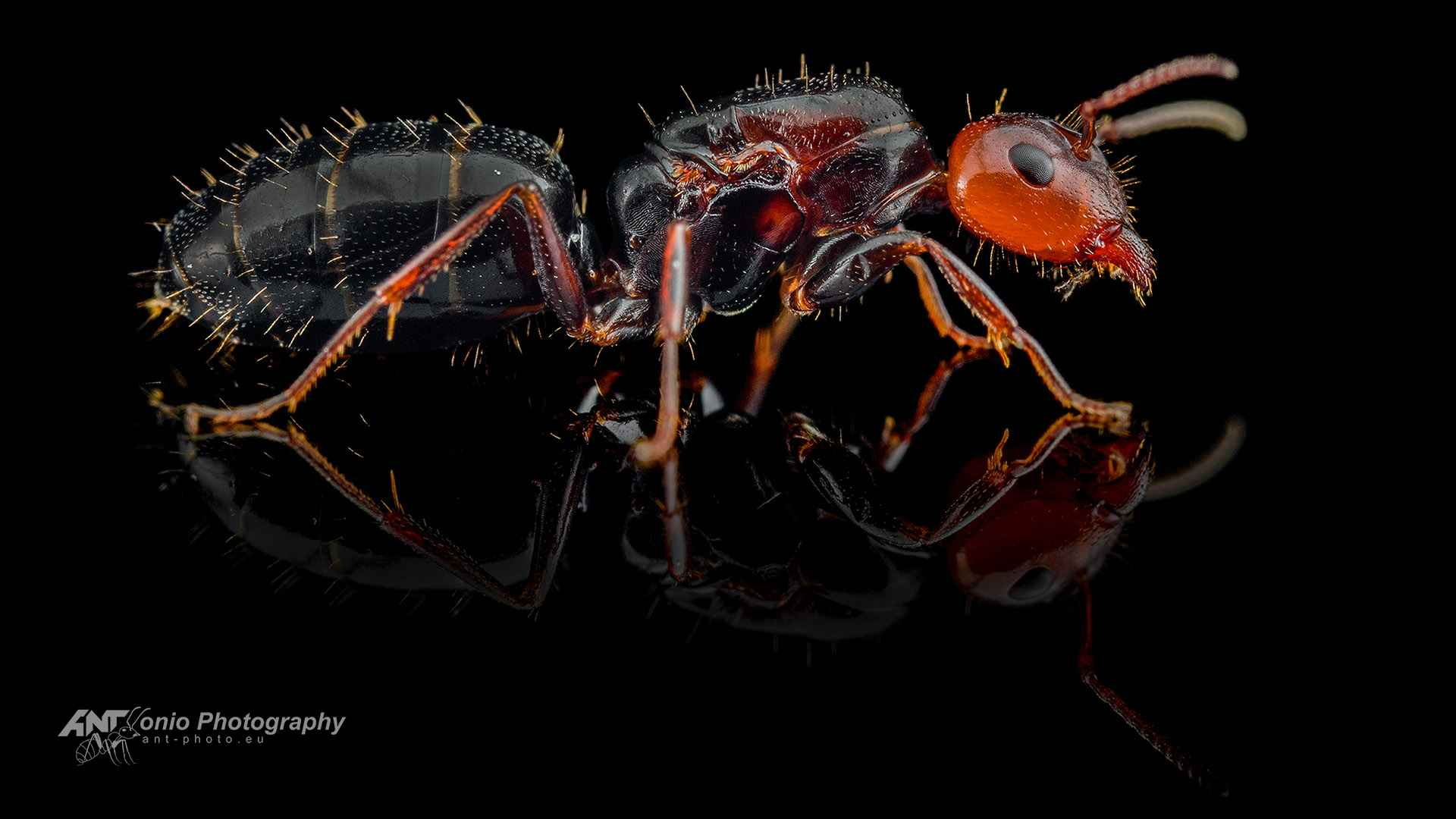 Ant Camponotus lateralis queen
