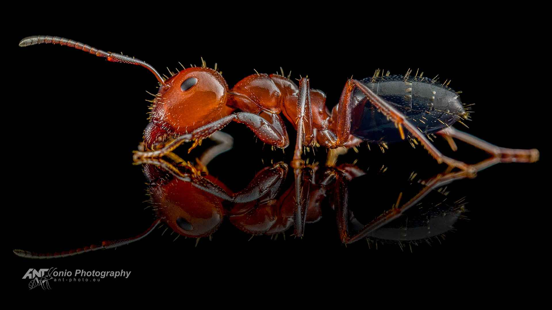 Ant Camponotus lateralis major