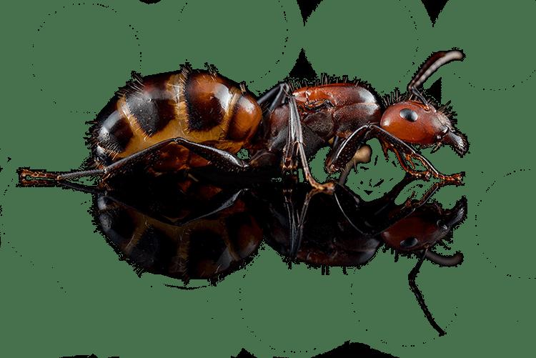 Camponotus nicobarensis tło