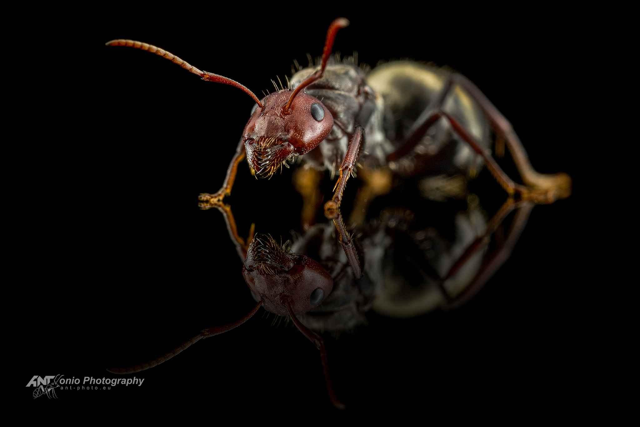 Ant Camponotus sericeus queen